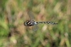 IMG_2094_Common_Hawker_male